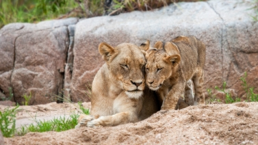 Lioness and her cub